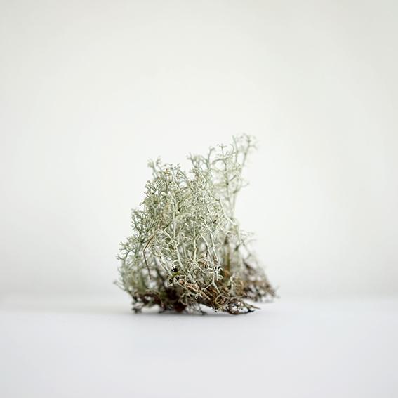 Souvenir (Moss, Birkenwald)